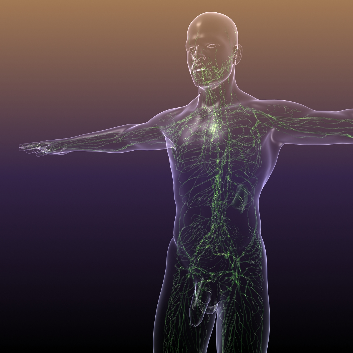 lymphatic system in human body 3d model 3ds max fbx c4d dae ma mb 3dm  obj 170715