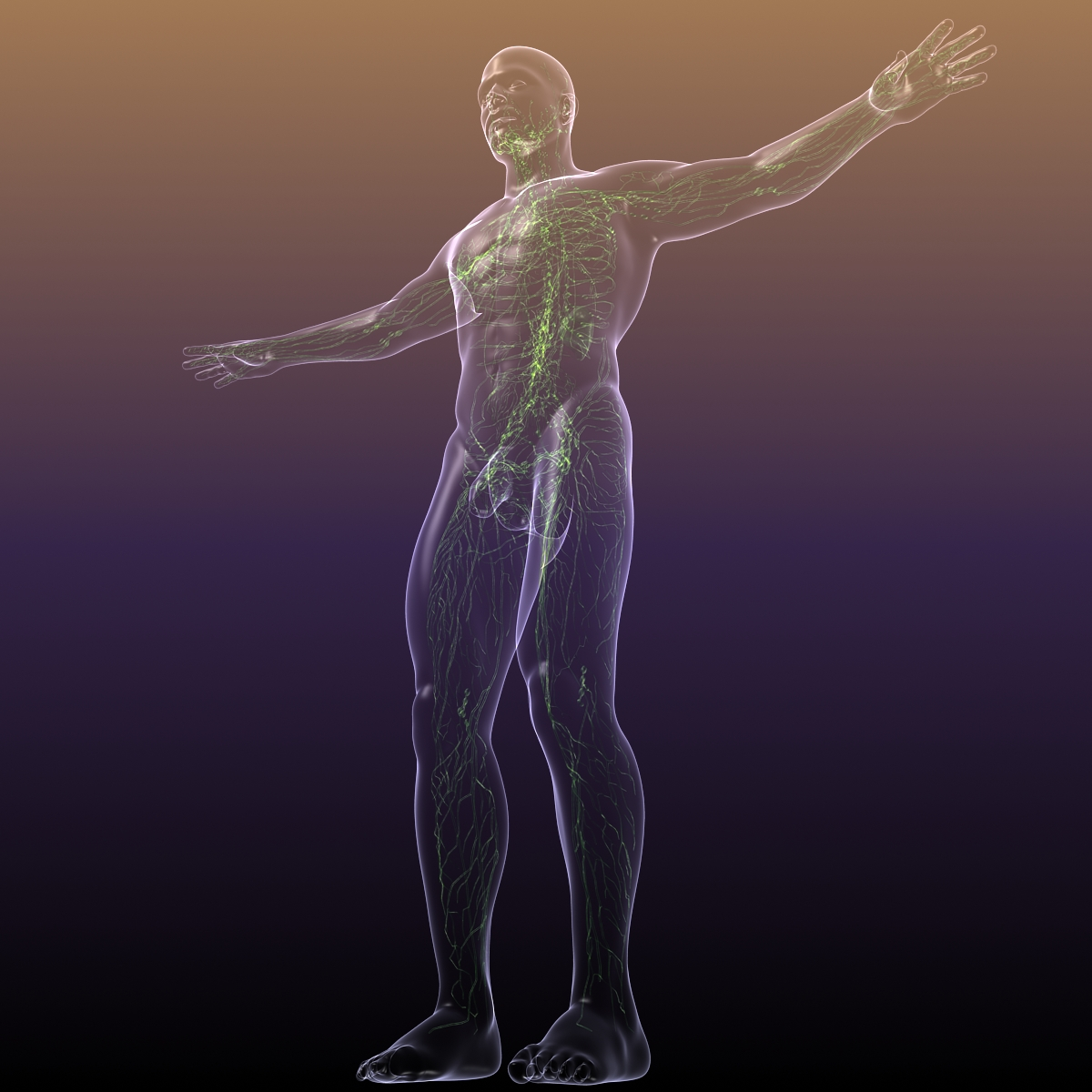 lymphatic system in human body 3d model 3ds max fbx c4d dae ma mb 3dm  obj 170716