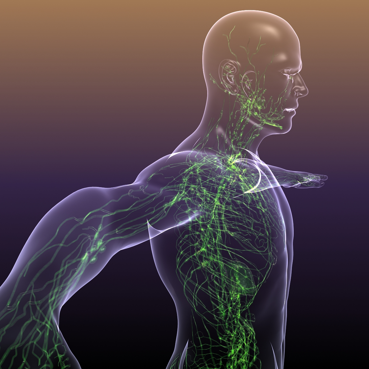 lymphatic system in human body 3d model 3ds max fbx c4d dae ma mb 3dm  obj 170717