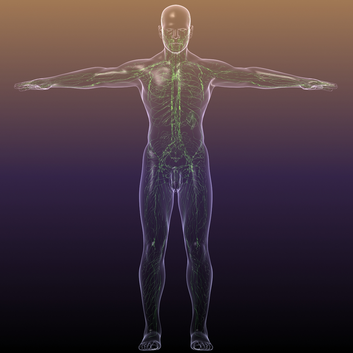 Lymphatic System in Human Body 3D Model – Buy Lymphatic System in ...