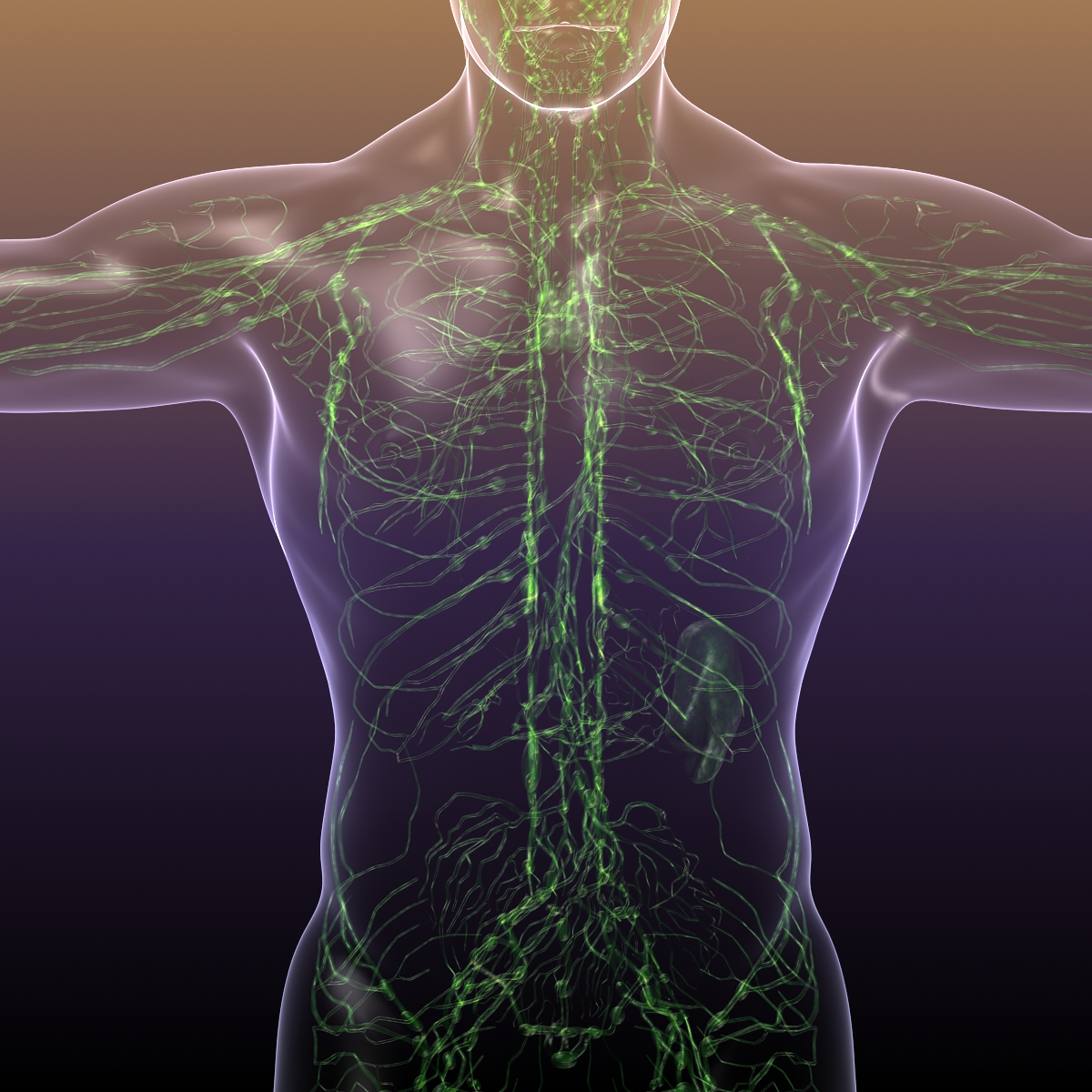 lymphatic system in human body 3d model 3ds max fbx c4d dae ma mb 3dm  obj 170719