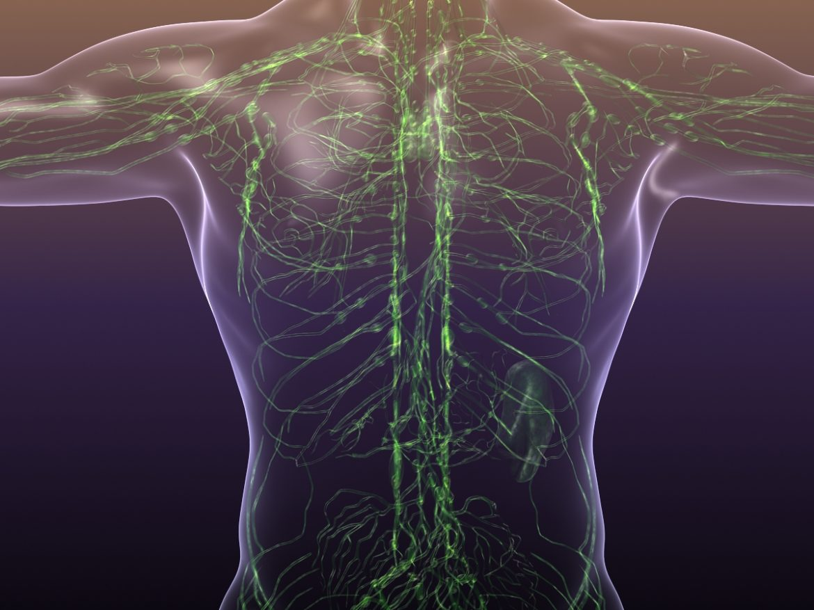 Lymphatic System in Human Body 3d model 3ds max fbx c4d dae ma mb   obj