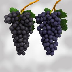 Grapes Black and Blue  ( 529.66KB jpg by NoNgon )