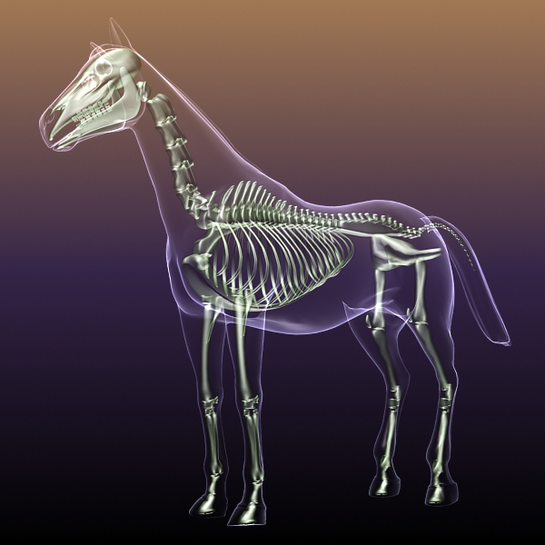 Horse Skeleton Anatomy In Body 3d Model Flatpyramid