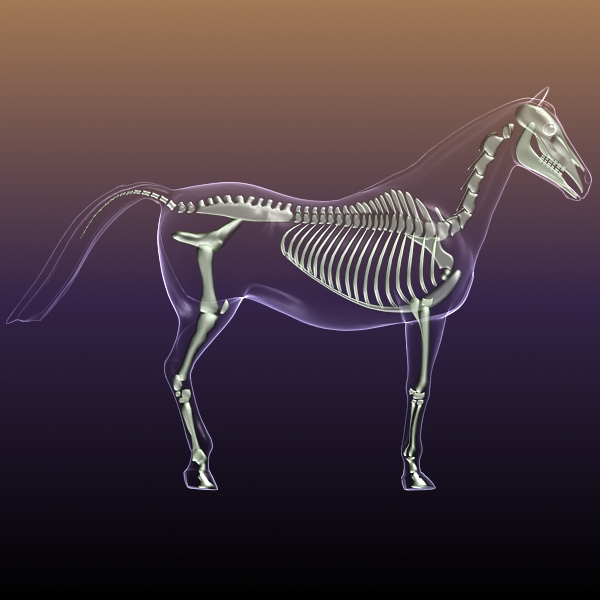 Horse Skeleton Anatomy in Body 3D Model | FlatPyramid
