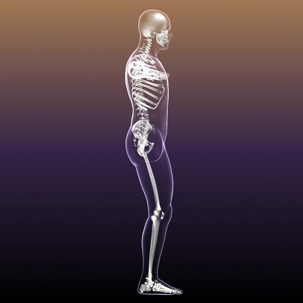 Human Skeleton in Body 3D Model   FlatPyramid