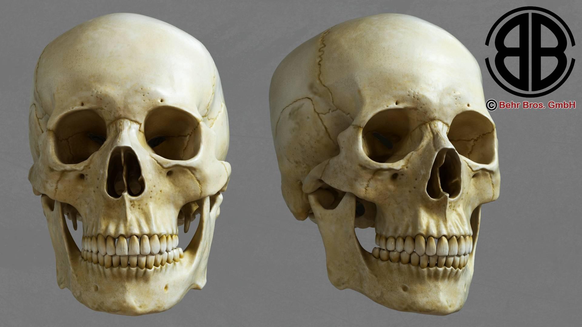 crani humà model 3d 213753