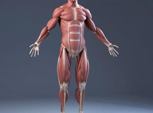 Анатомија `