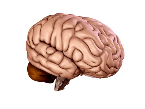 brain 3d model 3ds max c4d lwo ma mb obj 114213