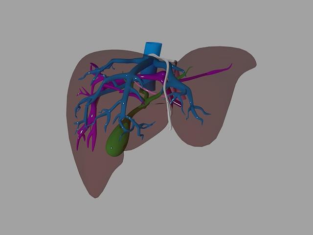 liver 3d model max 155462