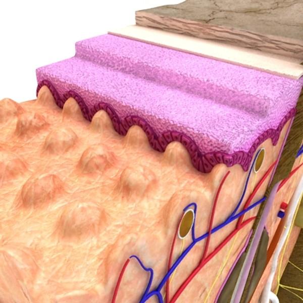 skin & hair anatomy high detail 3d model max fbx obj 129798