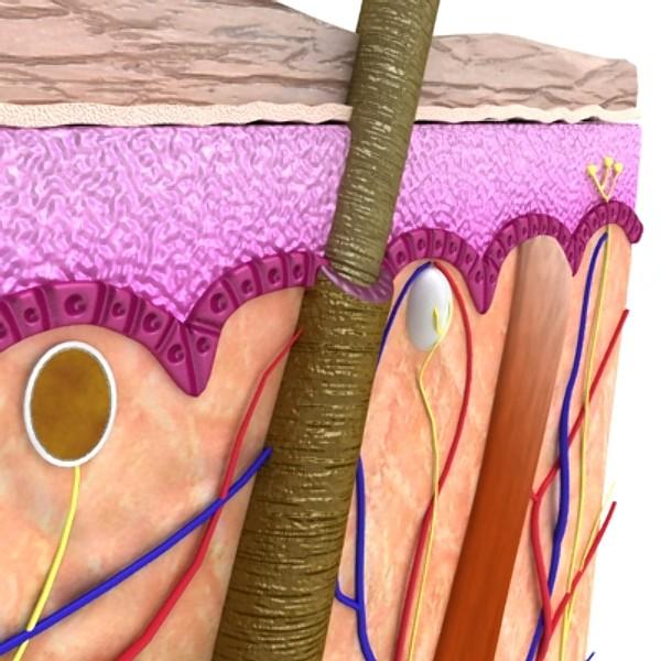 skin & hair anatomy high detail 3d model max fbx obj 129802