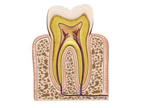 Tooth ( 126.66KB jpg by Behr_Bros. )