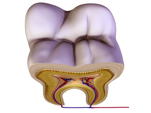 Tooth ( 106.62KB jpg by Behr_Bros. )