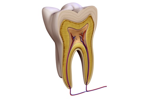 tooth v2 3d model 3ds max c4d lwo ma mb obj 158582