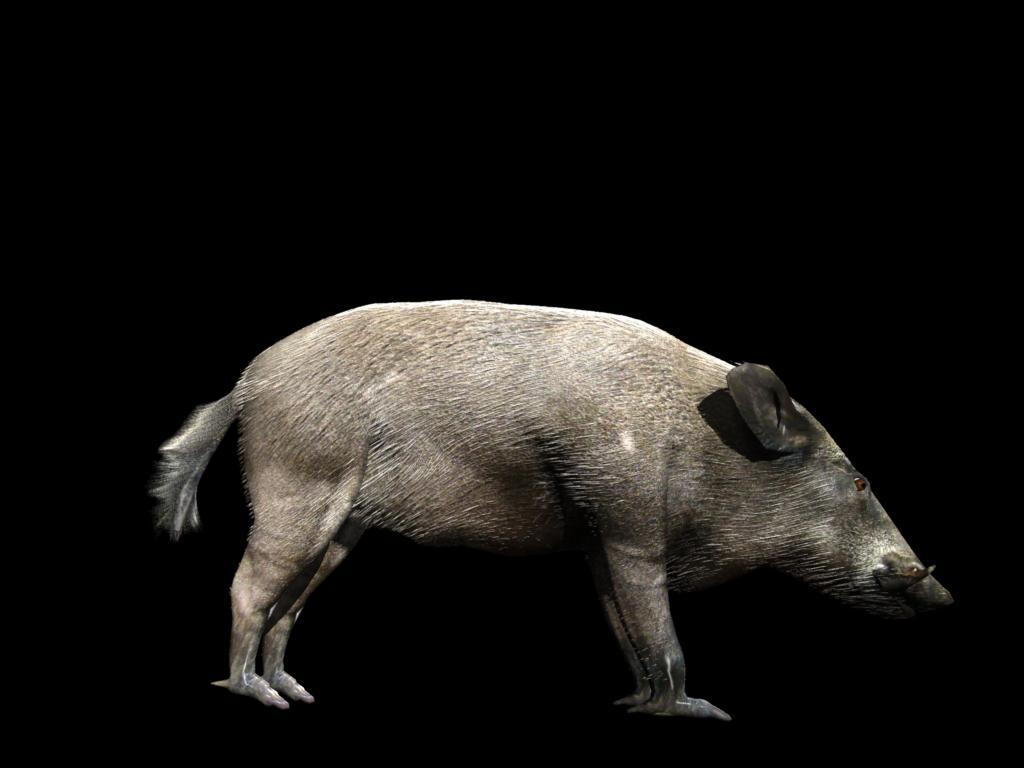 divlja svinja 3d model 3ds dxf fbx dae 129763