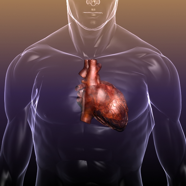 heart in a human body 3d model 3ds max dxf dwg fbx cob c4d x lwo other 3dm skp hrc xsi texture wrl wrz obj 115962
