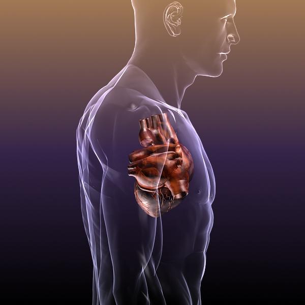 heart in a human body 3d model 3ds max dxf dwg fbx cob c4d x lwo other 3dm skp hrc xsi texture wrl wrz obj 115965