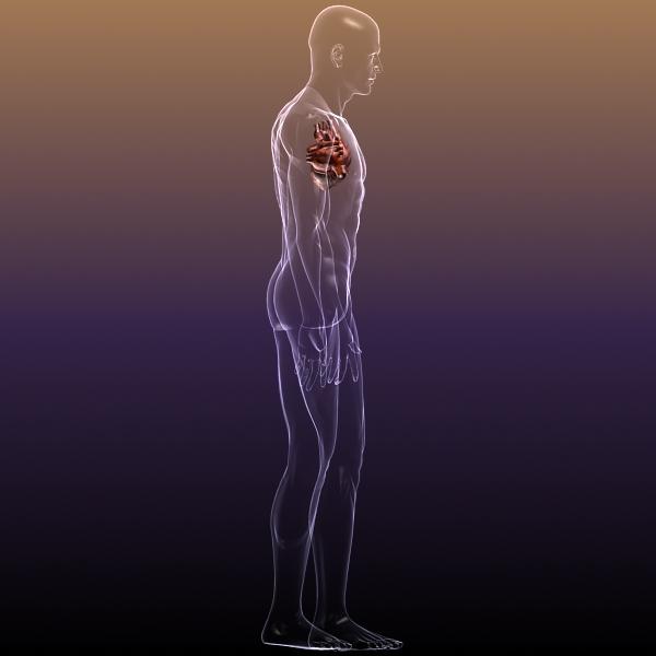 heart in a human body 3d model 3ds max dxf dwg fbx cob c4d x lwo other 3dm skp hrc xsi texture wrl wrz obj 115966