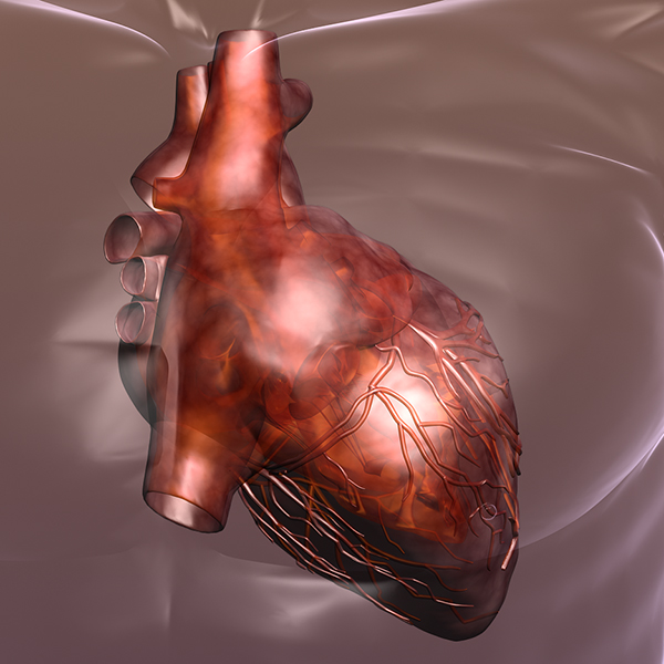 heart in a human body 3d model 3ds max dxf dwg fbx cob c4d x lwo other 3dm skp hrc xsi texture wrl wrz obj 115971