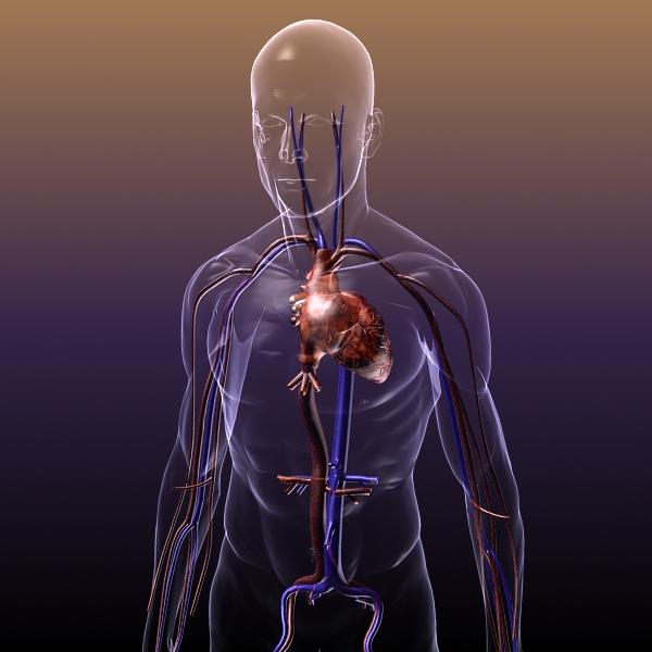 анатомија на циркулаторниот систем во човечкото тело 3d модел 3ds max dxf fbx c4d lwo hrc xsi текстура wrl wrz obj 117987