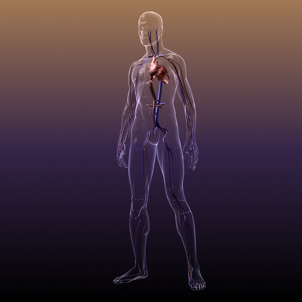 circulatory system anatomy in a human body 3d model 3ds max dxf fbx c4d lwo hrc xsi texture wrl wrz obj 117988