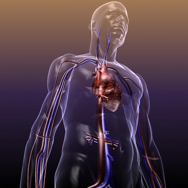Circulatory System Anatomy In A Human Body 3d Model Flatpyramid