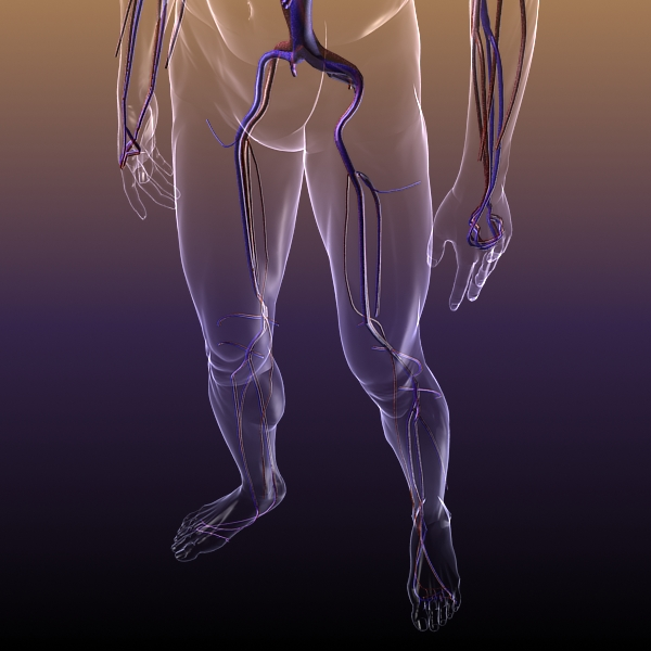 circulatory system anatomy in a human body 3d model 3ds max dxf fbx c4d lwo hrc xsi texture wrl wrz obj 117991
