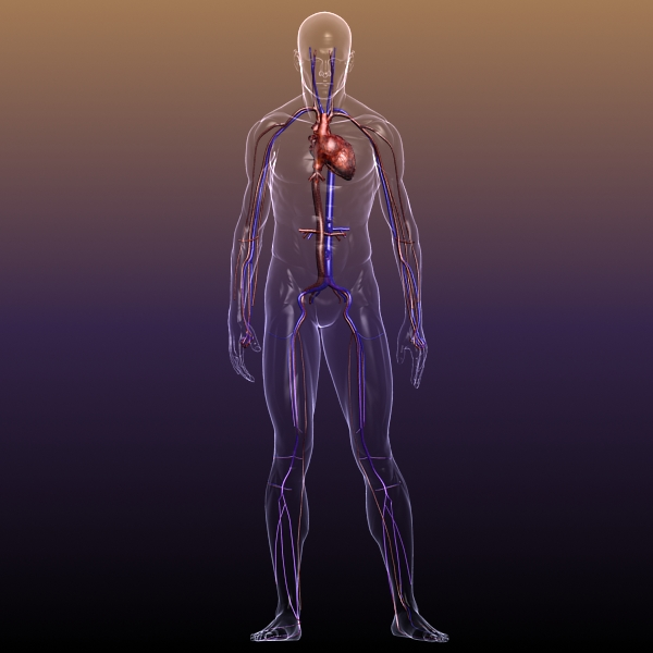 circulatory system anatomy in a human body 3d model 3ds max dxf fbx c4d lwo hrc xsi texture wrl wrz obj 117992