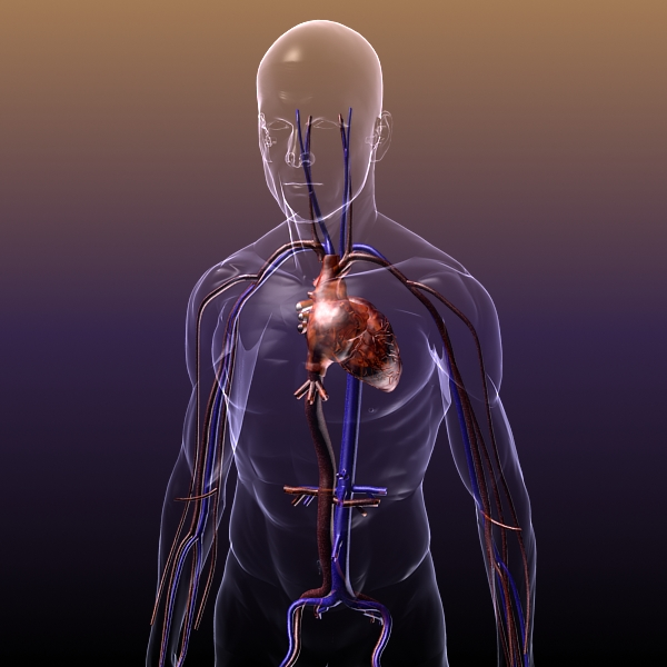 Circulatory System Anatomy In A Human Body 3d Model Buy