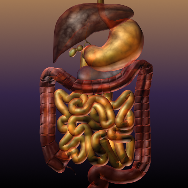 digestive system of a human 3d model max texture 117785