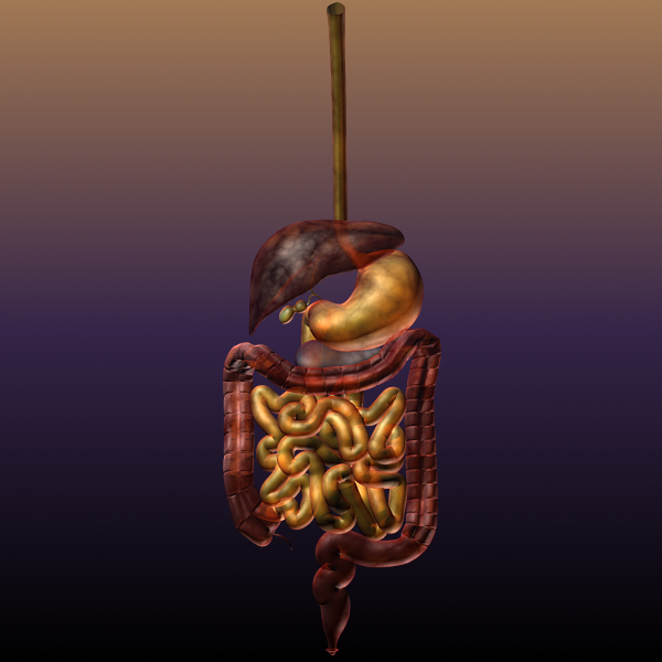 digestive system of a human 3d model max texture 117786