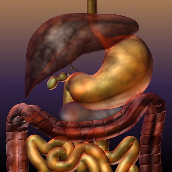 digestive system of a human 3d model max texture 117787