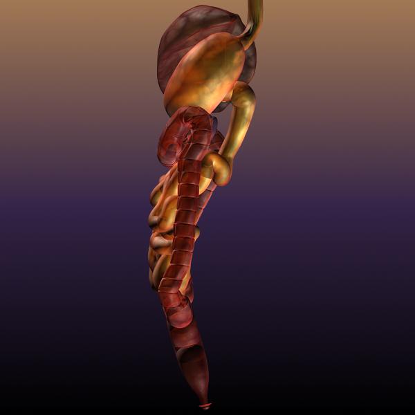 digestive system of a human 3d model max texture 117792