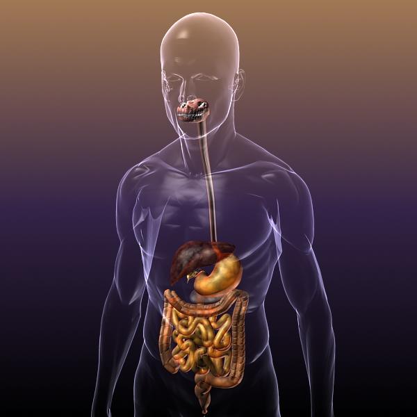 human anatomy: digestive system 3d model 3ds max fbx c4d lwo ma mb hrc xsi texture obj 117656
