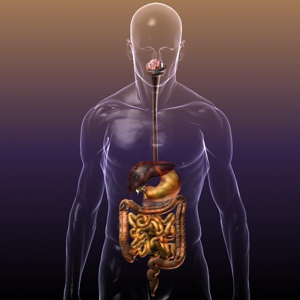 human anatomy: digestive system 3d model 3ds max fbx c4d lwo ma mb hrc xsi texture obj 117657