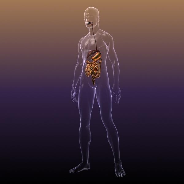 human anatomy: digestive system 3d model 3ds max fbx c4d lwo ma mb hrc xsi texture obj 117658