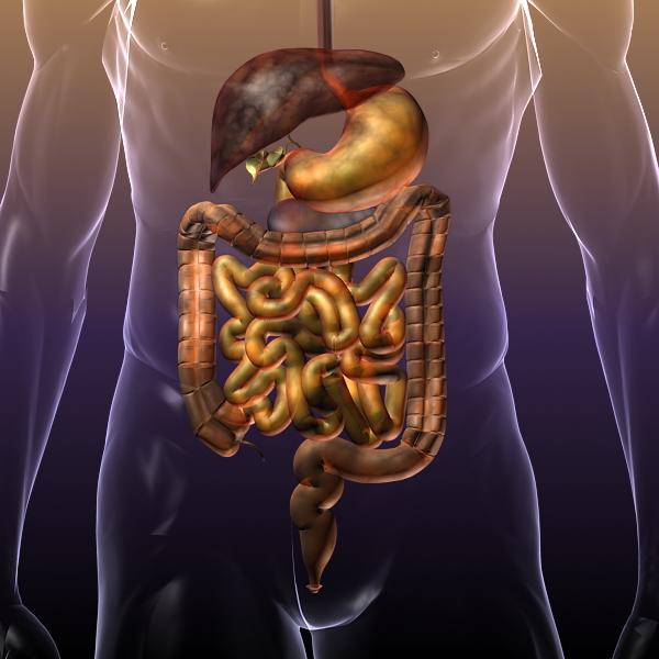 human anatomy: digestive system 3d model 3ds max fbx c4d lwo ma mb hrc xsi texture obj 117661