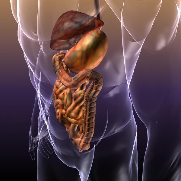 human anatomy: digestive system 3d model 3ds max fbx c4d lwo ma mb hrc xsi texture obj 117663