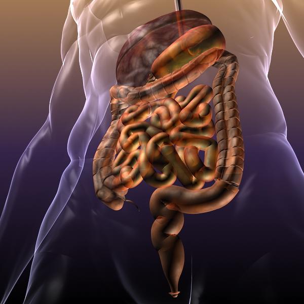 human anatomy: digestive system 3d model 3ds max fbx c4d lwo ma mb hrc xsi texture obj 117664