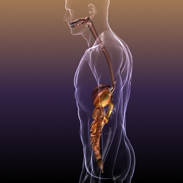 human anatomy: digestive system 3d model 3ds max fbx c4d lwo ma mb hrc xsi texture obj 117666