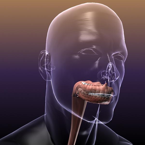 human anatomy: digestive system 3d model 3ds max fbx c4d lwo ma mb hrc xsi texture obj 117667