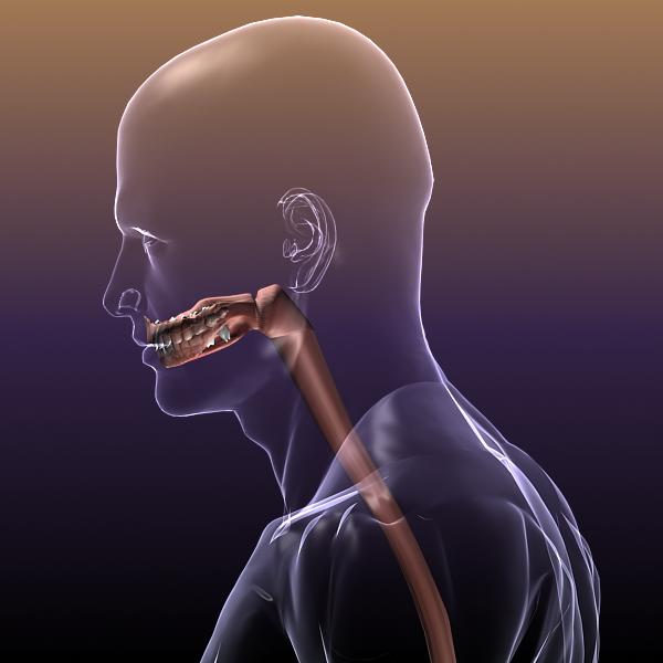 human anatomy: digestive system 3d model 3ds max fbx c4d lwo ma mb hrc xsi texture obj 117668