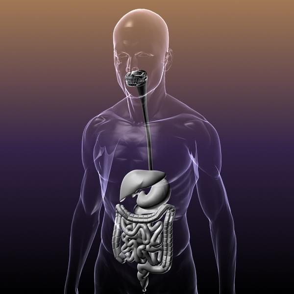 human anatomy: digestive system 3d model 3ds max fbx c4d lwo ma mb hrc xsi texture obj 117669
