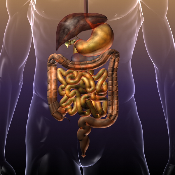 Human Anatomy: Digestive System 3d model 3ds max fbx c4d lwo lws lw ma mb   obj 117661