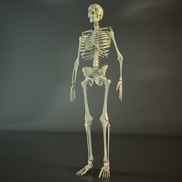 Hd Skeleton Of A Human 3d Model Buy Hd Skeleton Of A Human 3d