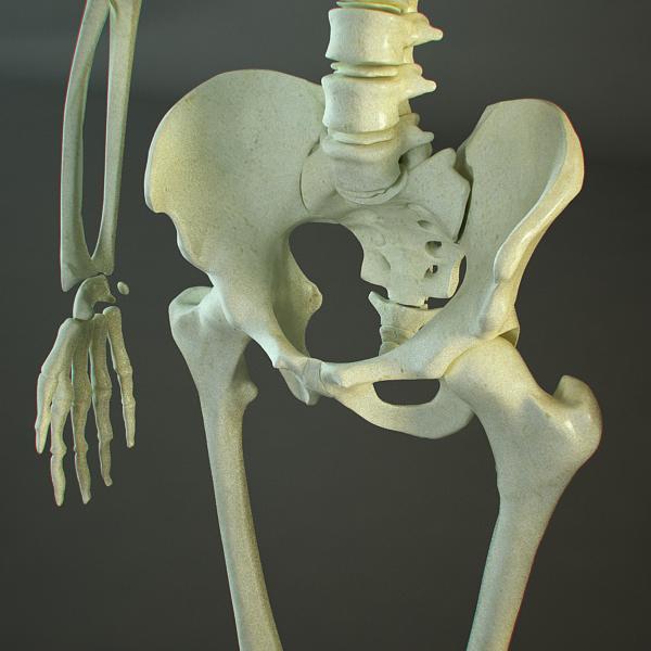 skeleton of a human 3d model 3ds max dxf fbx c4d lwo ma mb hrc xsi texture obj 118399