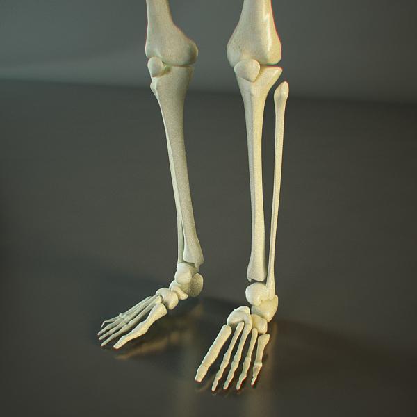 skeleton of a human 3d model 3ds max dxf fbx c4d lwo ma mb hrc xsi texture obj 118400