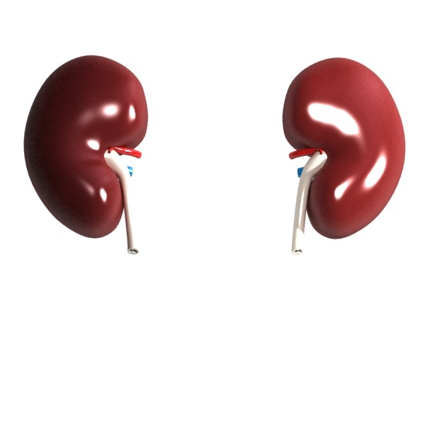 3D Model Human Kidneys High Detail ( 21.15KB jpg by VKModels )