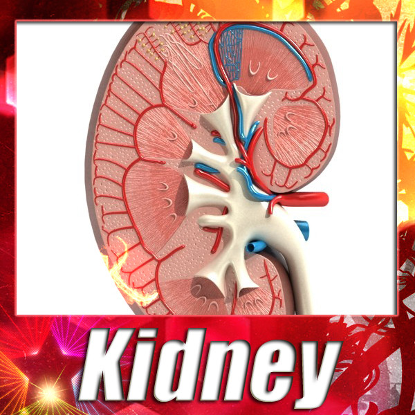 3D Model Kidney Anatomy High Detail ( 135.84KB jpg by VKModels )